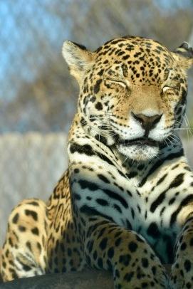 Male Jaguar