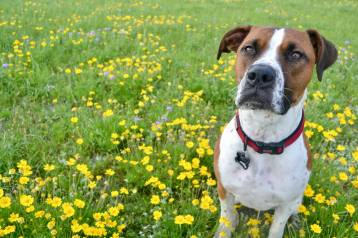 Cooper among the Texas wildflowers Spring 2017